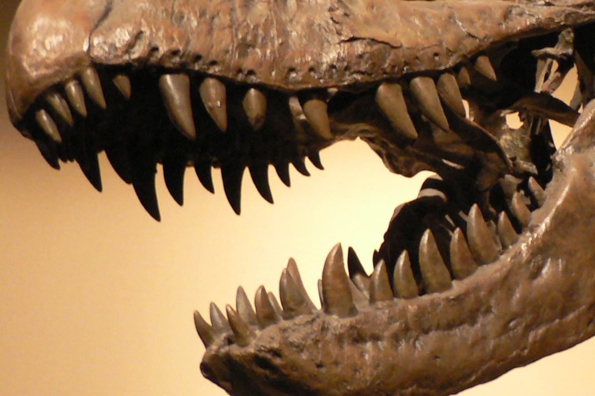 About Dinosaur Teeth Fossilera