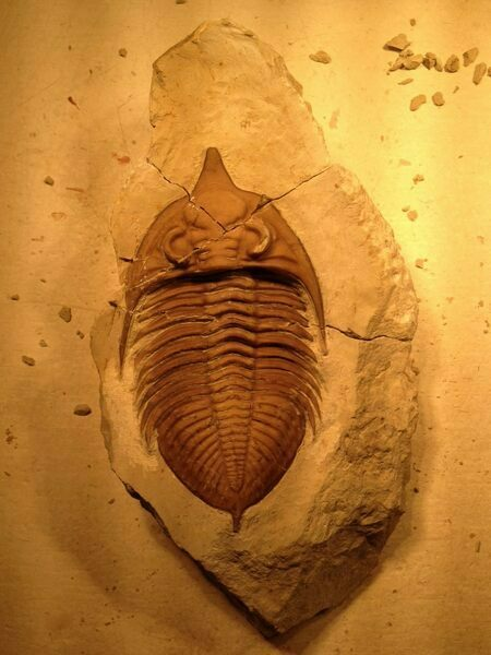 Trilobite before restoration