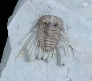 Kettneraspis trilobite for sale