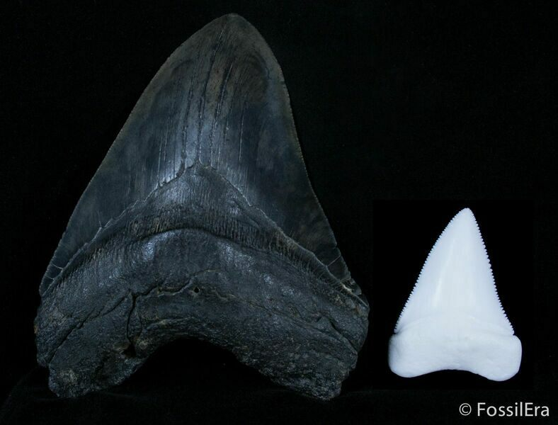 Megalodon … Myth or Real? – Strange But True History
