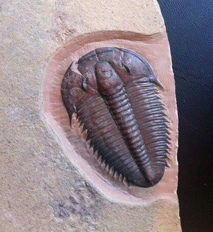 Utaspis trilobite cake