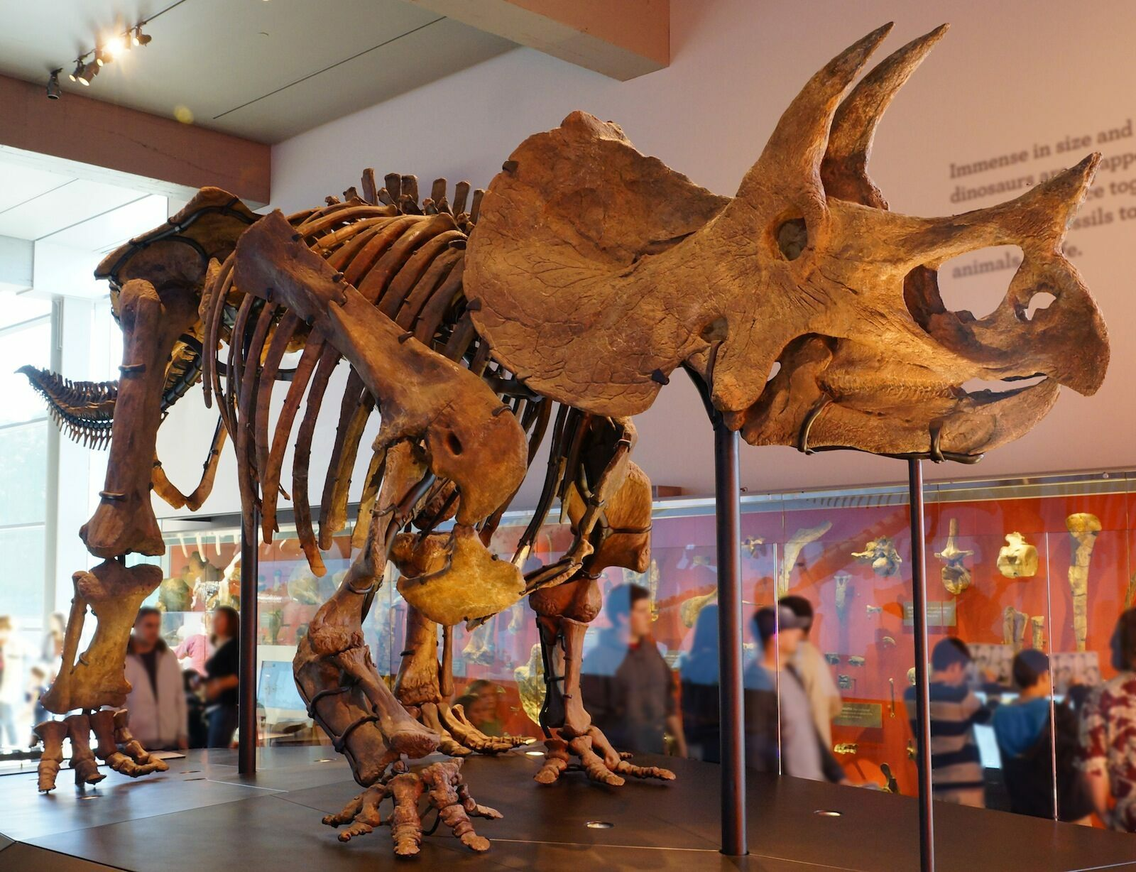 triceratops skeleton natural history museum of los angeles county photo allie caulfield