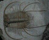 Boedaspis-trilobite1