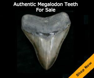 real megalodon teeth