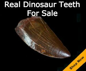 Dinosaur Teeth For Sale