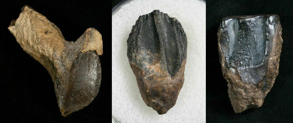 Dinosaur teeth pictures — 2