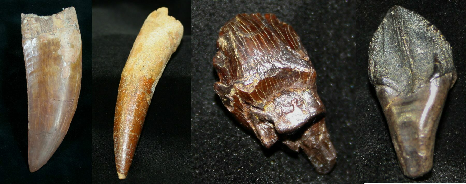 Various dinosaur teeth