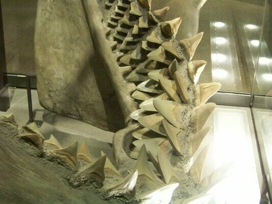 10 Killer Megalodon Shark Facts - FossilEra com