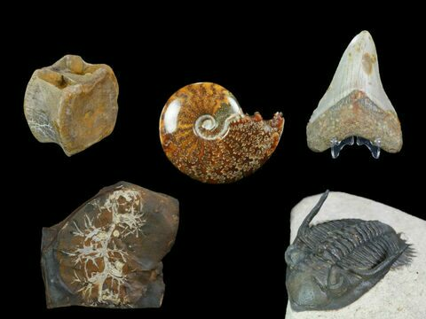 Fossils For Sale