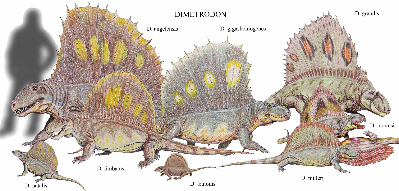 Dimetrodon Fossils For Sale - FossilEra.com