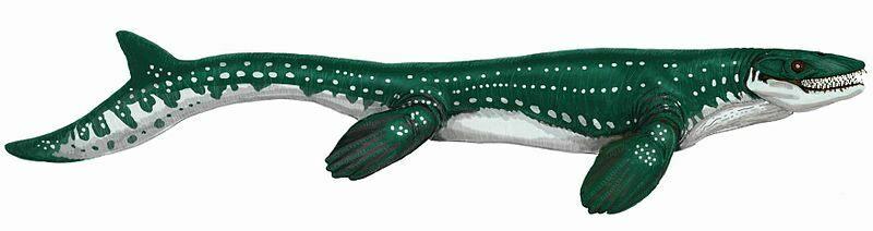 Large fossil mosasaurus  mosasaur dinosaur tooth in gift display box
