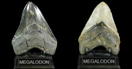 Megalodon Teeth For Sale