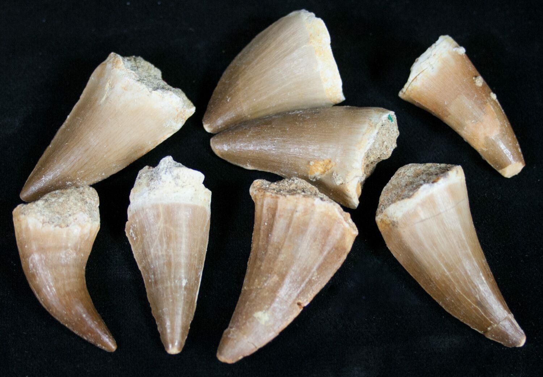 Bulk Fossil Mosasaur Teeth - 10 Pack For Sale - FossilEra.com