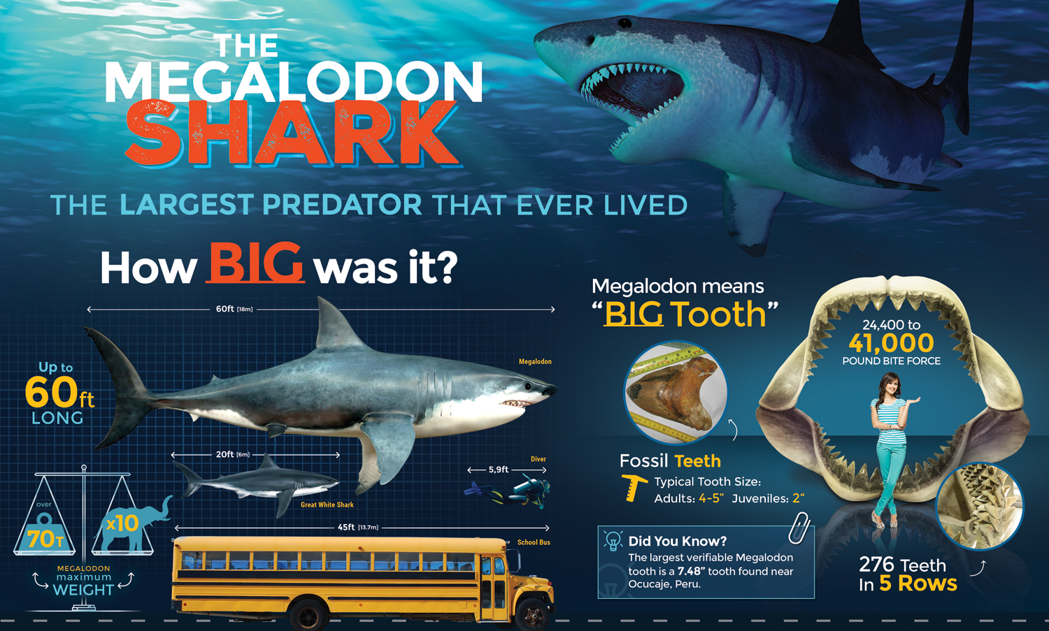 """24x36"""" Megalodon Infographic Poster (Glossy) For Sale - FossilEra.com"""