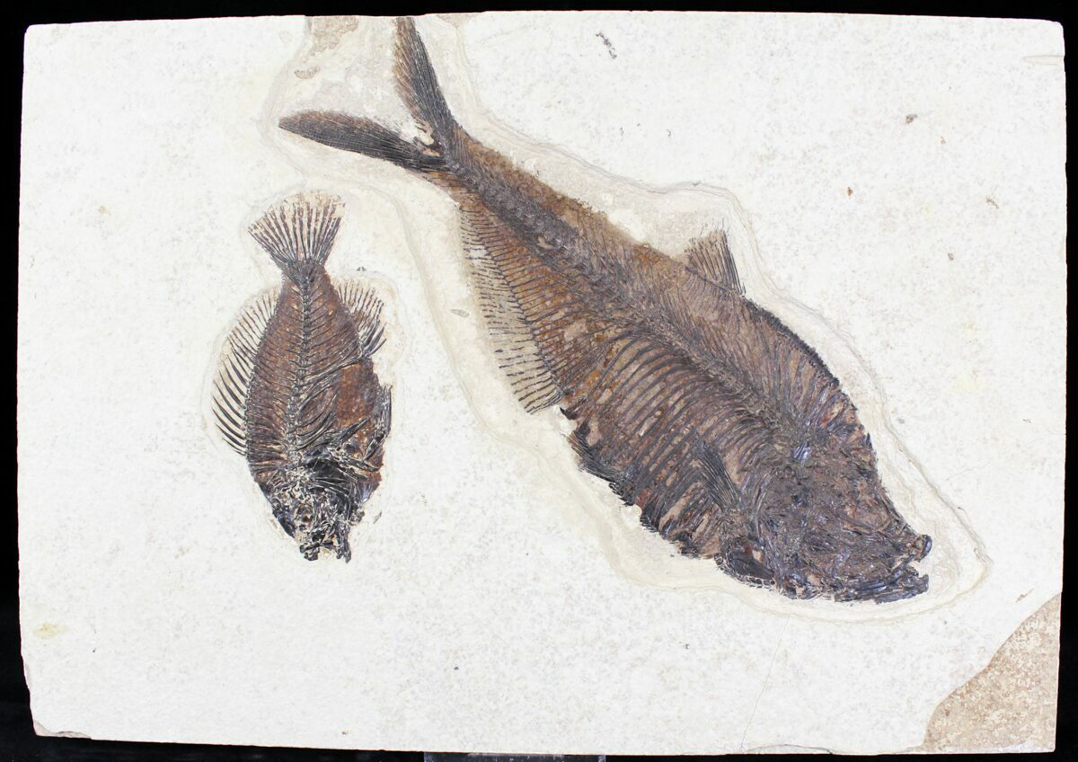 Diplomystus priscacara fossil fish plate 13x9 for for Fish fossils for sale