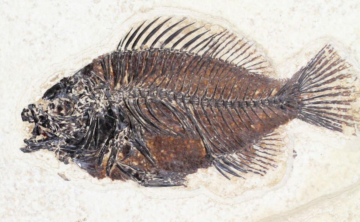 Diplomystus Amp Priscacara Fossil Fish Plate 13x9 Quot For