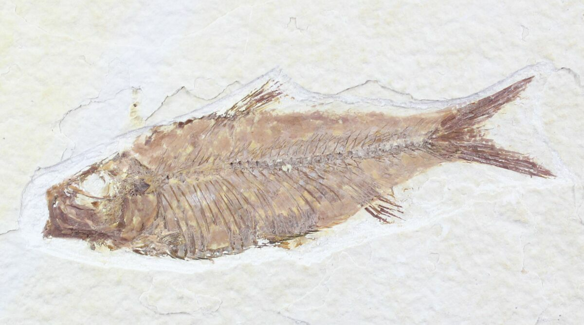 3 5 knightia fish fossil from wyoming for sale 23723 for Fish fossils for sale