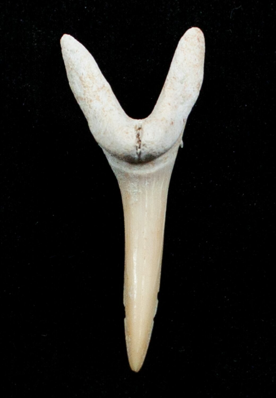 Striatolamia Extinct Sand Tiger Shark Tooth Eocene For