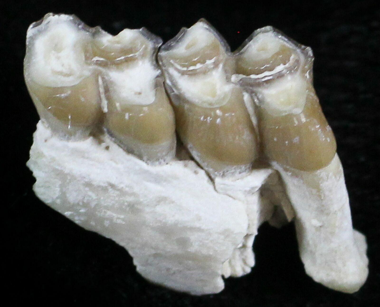 Image result for oligocene mammal teeth