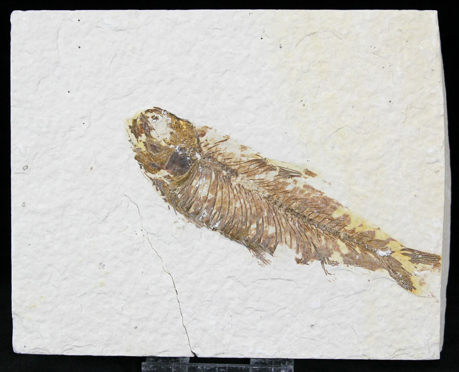3 5 knightia fossil fish wyoming for sale 29017 for Fish fossils for sale