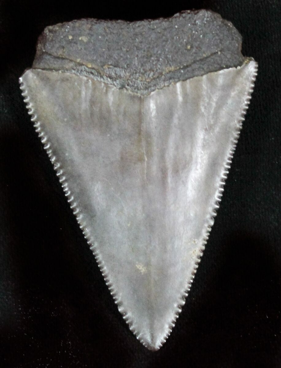 """Serrated Fossil Great White Shark Tooth - 2.15"""" For Sale ... Carcharodon Carcharias Teeth"""