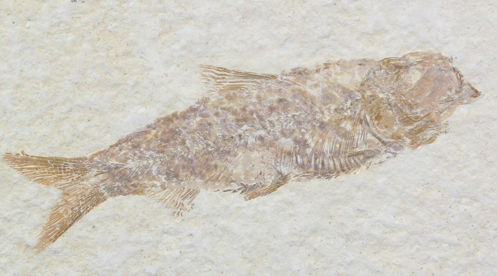 2 2 knightia fossil fish wyoming for sale 29840 for Fish fossils for sale