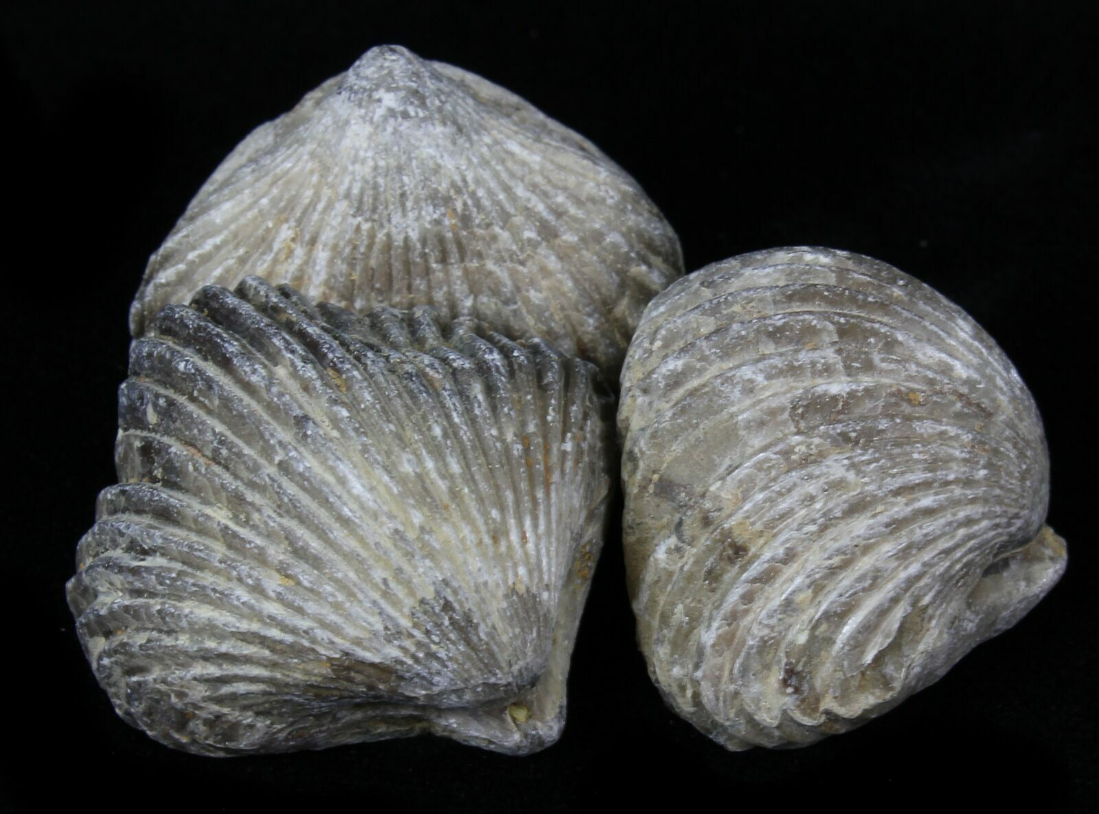 Fossil Brachiopods For...