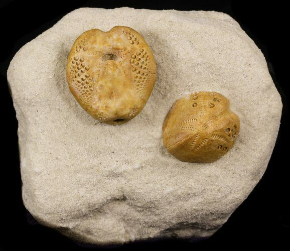Two Lovenia Sea Urchin Fossil Beaumaris Australia For