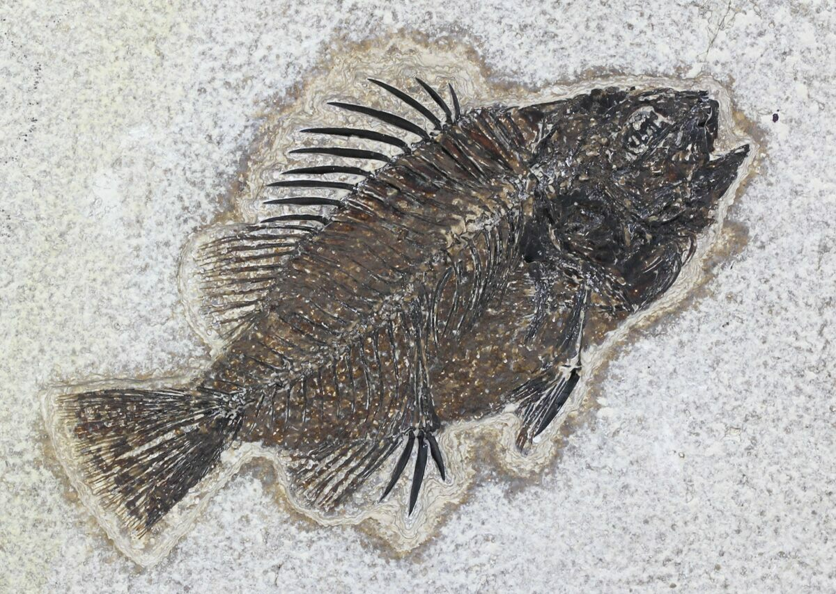4 6 cockerellites priscacara fossil fish wyoming for for Fish fossils for sale