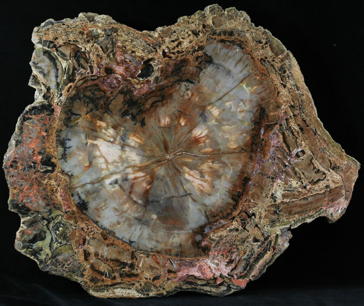 Arizona Petrified Wood For Sale Fossilera Com