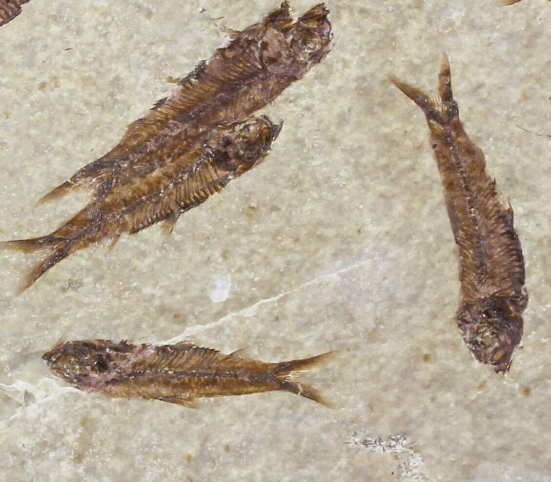 Fossil fish knightia multiple plate wyoming for sale for Fish fossils for sale