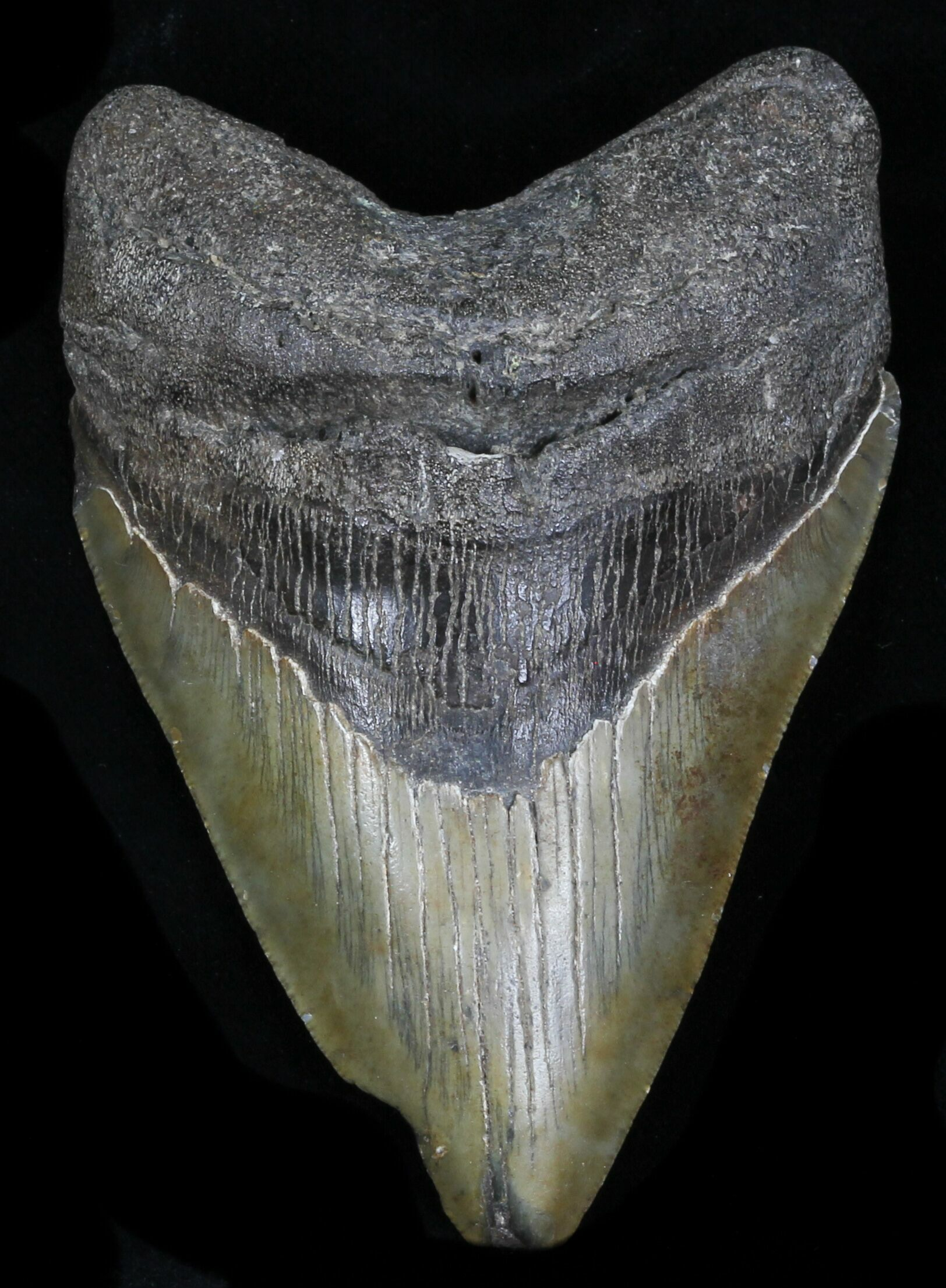 "4.14"" Megalodon Tooth - Georgia For Sale (#32650) - FossilEra.com"