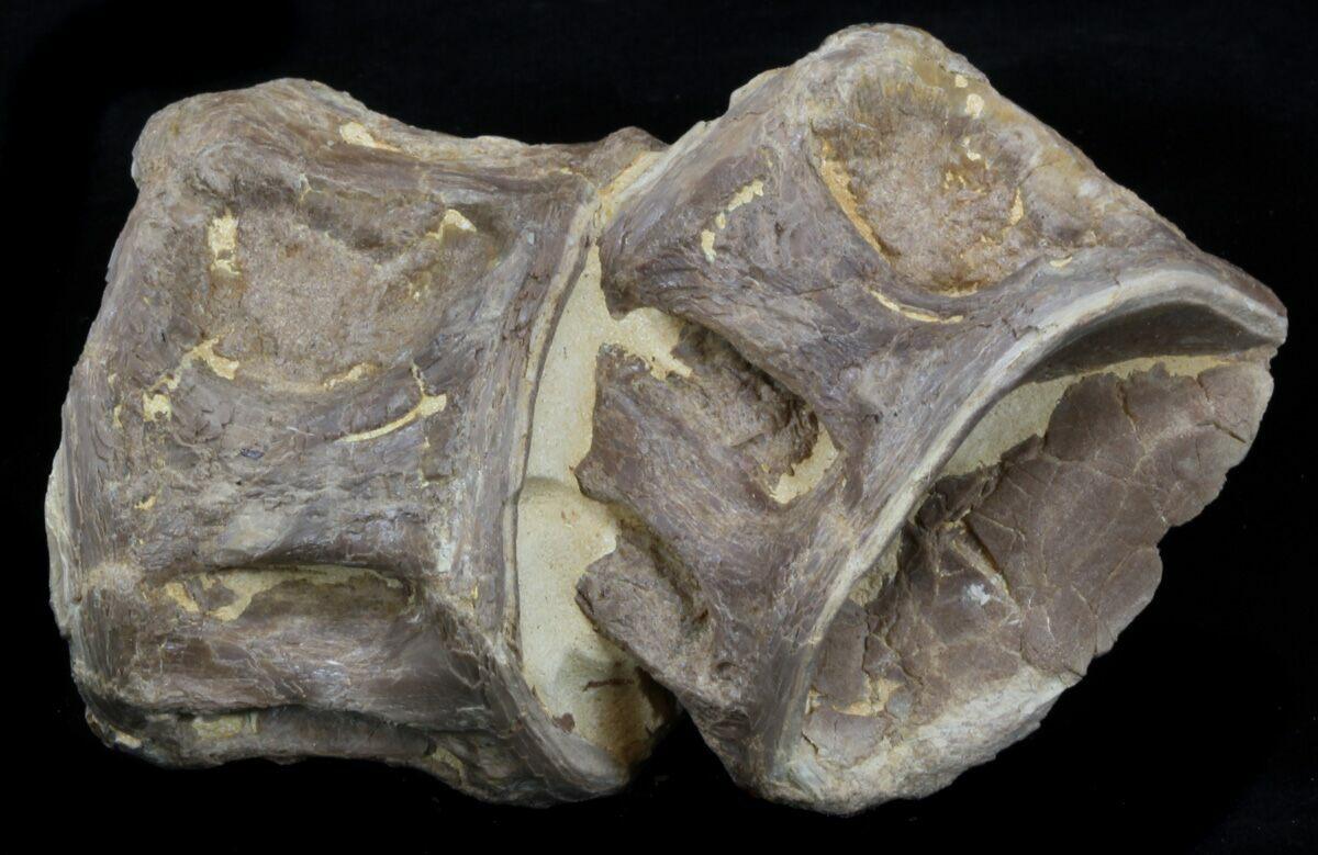 "3.4"" Two Associated Xiphactinus Vertebra - Kansas For Sale ..."