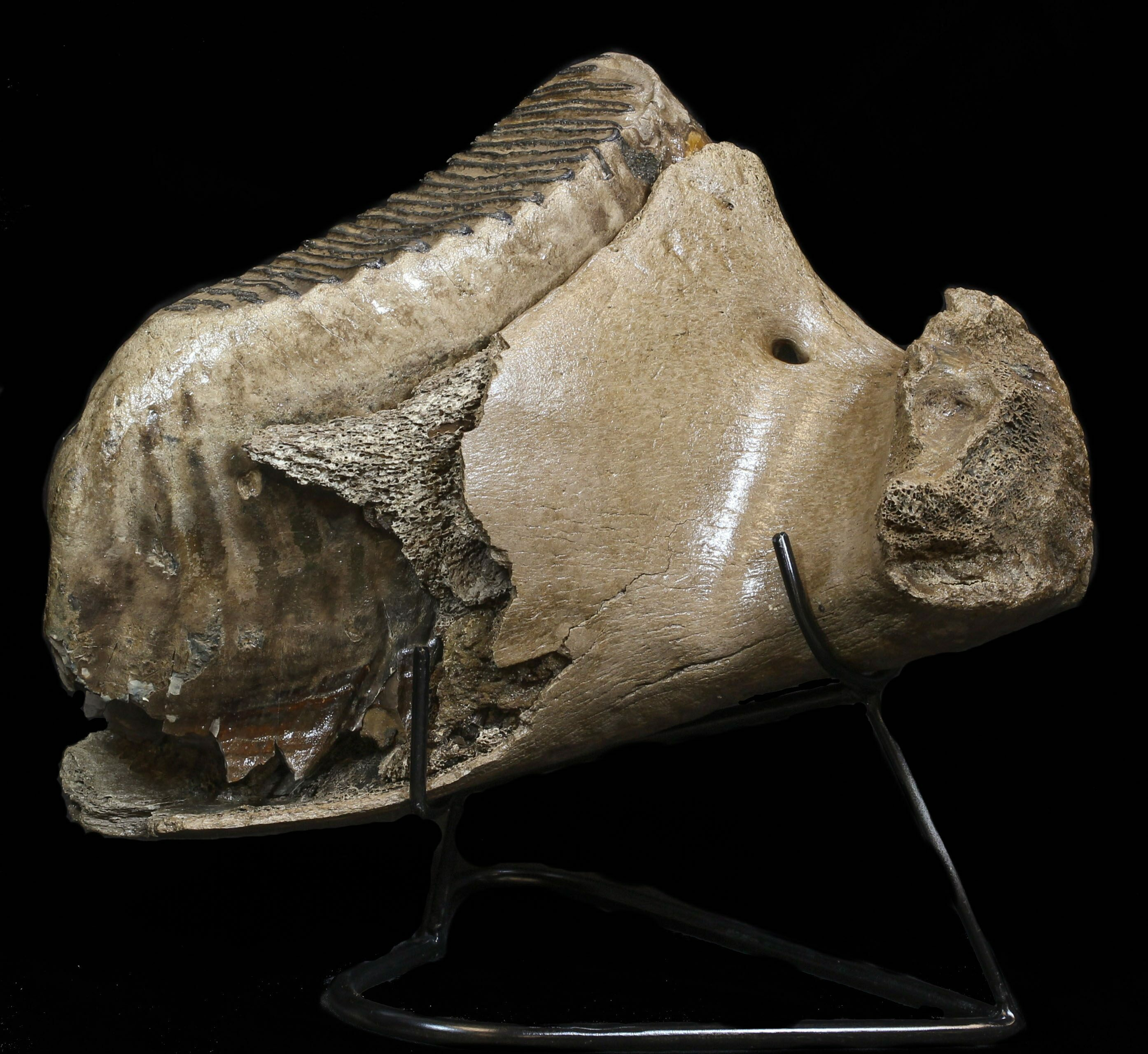 Partial Mammoth Lower Jaw With Huge Molar North Sea For