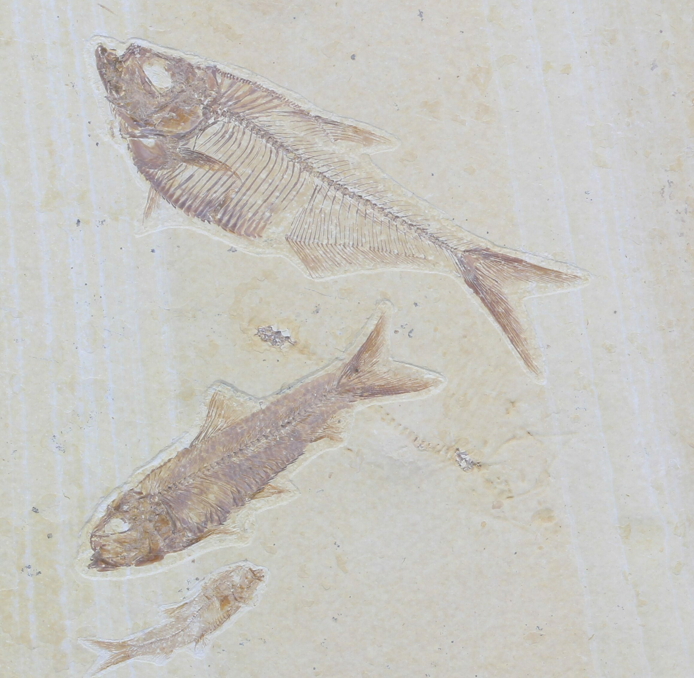 Diplomystus knightia fossil fish association for sale for Fish fossils for sale