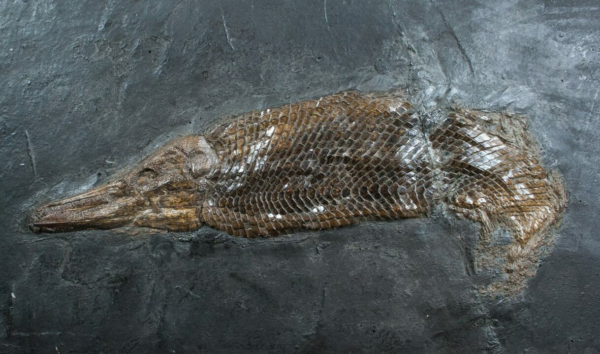 Museum Grade Garfish From Messel Shales For Sale - Museums for sale in us