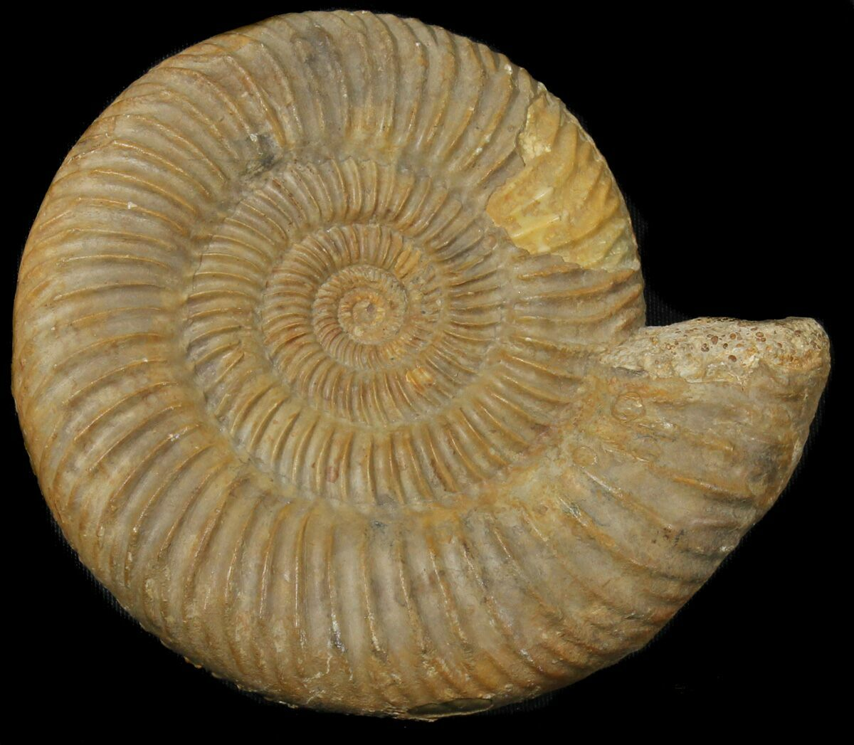 French Ammonites For Sale Fossilera Com