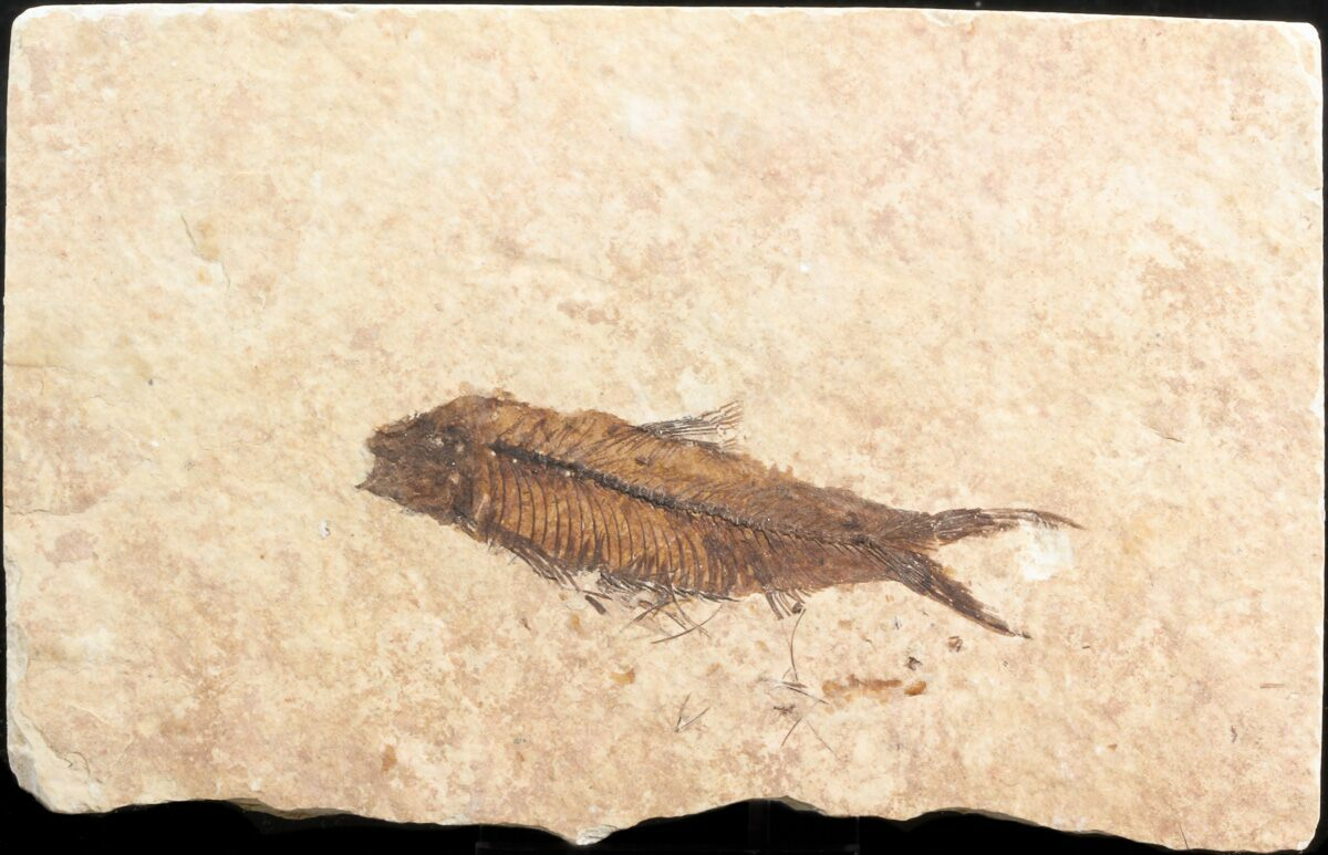 2 9 fossil fish knightia wyoming for sale 39687 for Fish fossils for sale