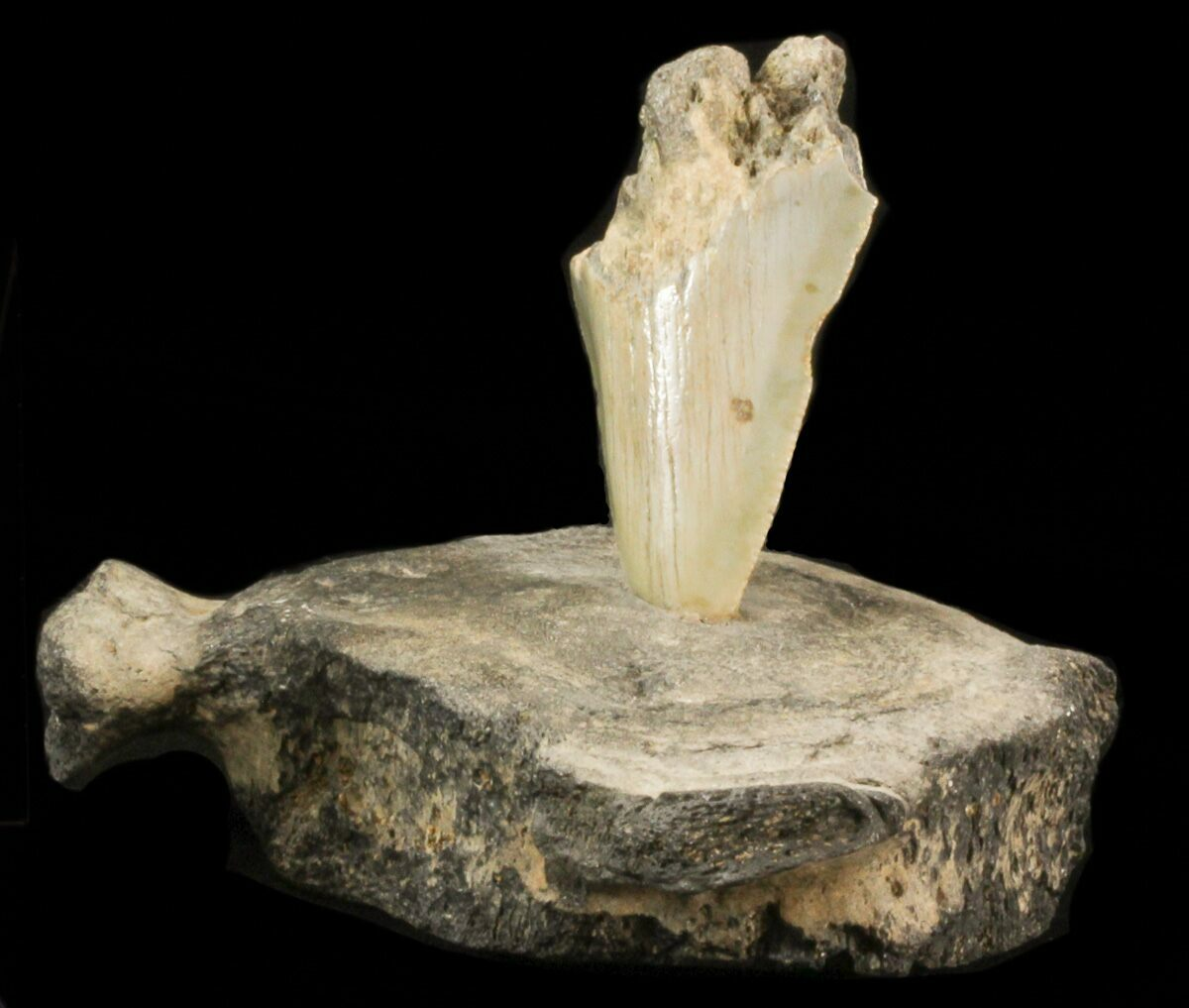megalodon tooth mounted in fossil whale vertebrae for sale   40299