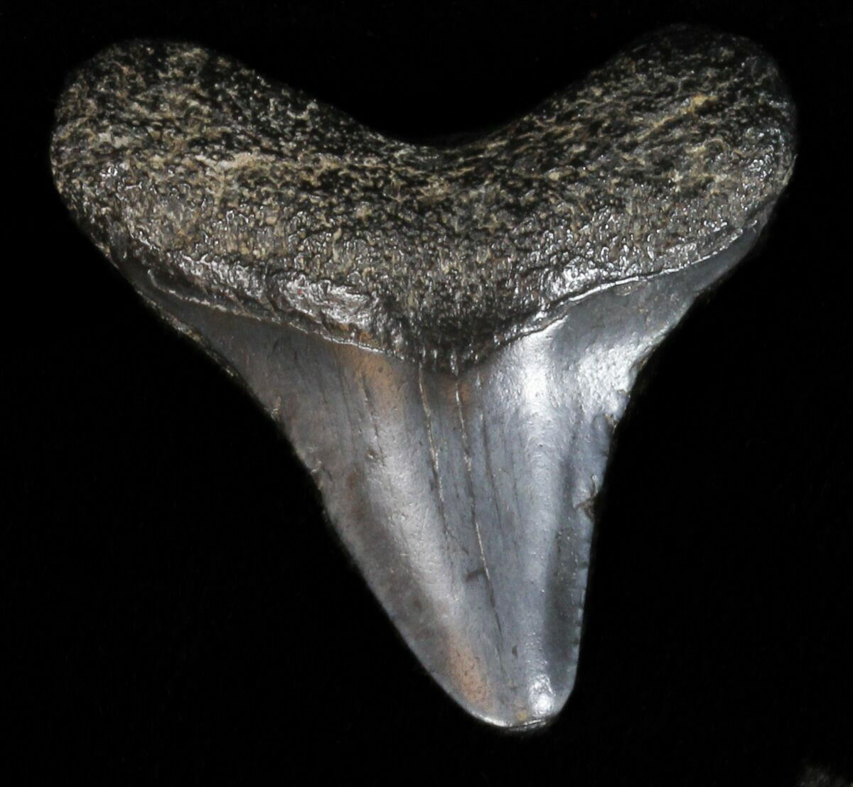 """Bargain 1.36"""" Megalodon Tooth"""