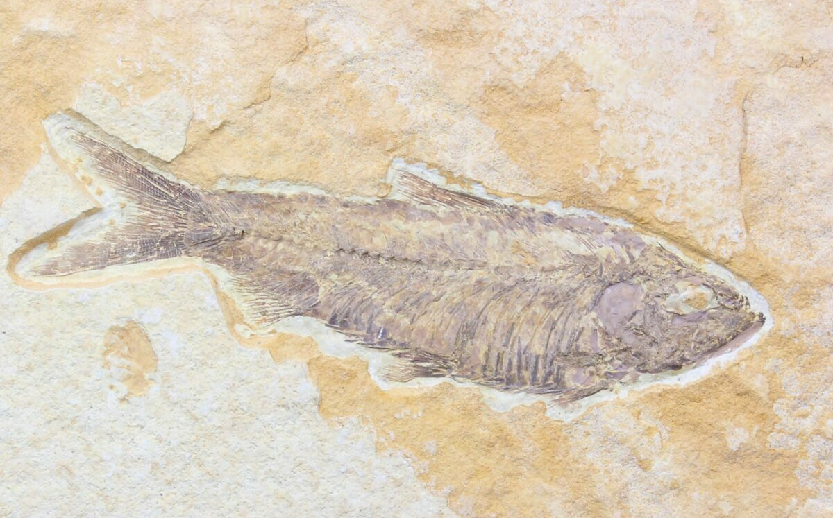 Detailed 4 5 knightia fossil fish wyoming for sale for Fish fossils for sale