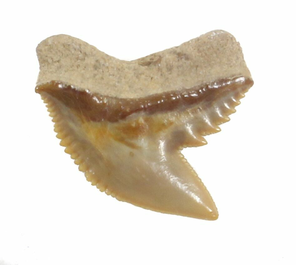 Fossil Tiger Shark Tooth - Florida For Sale (#40269) - FossilEra.com