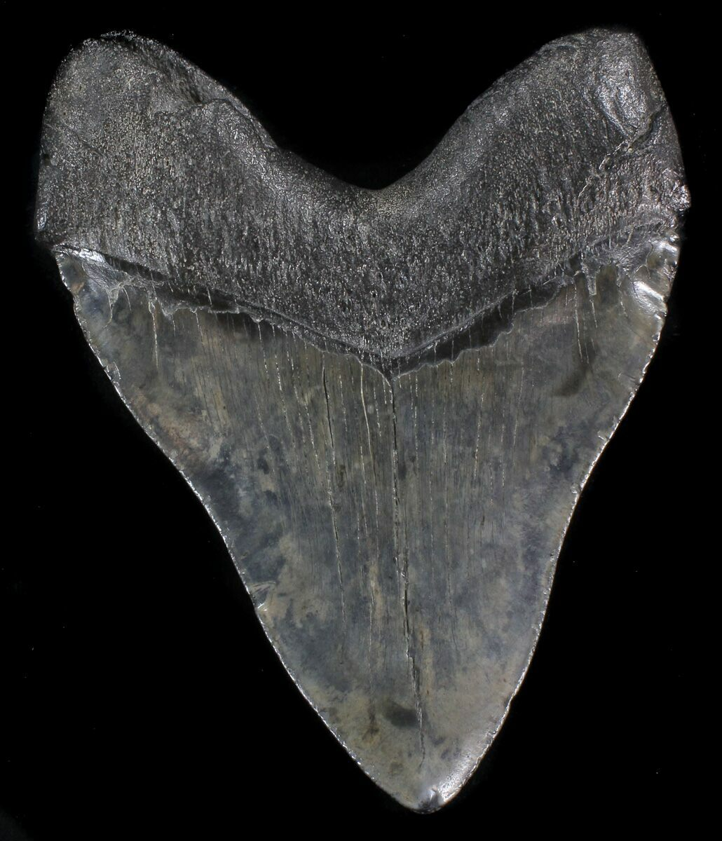 """Giant, 6.06"""" Megalodon Tooth"""