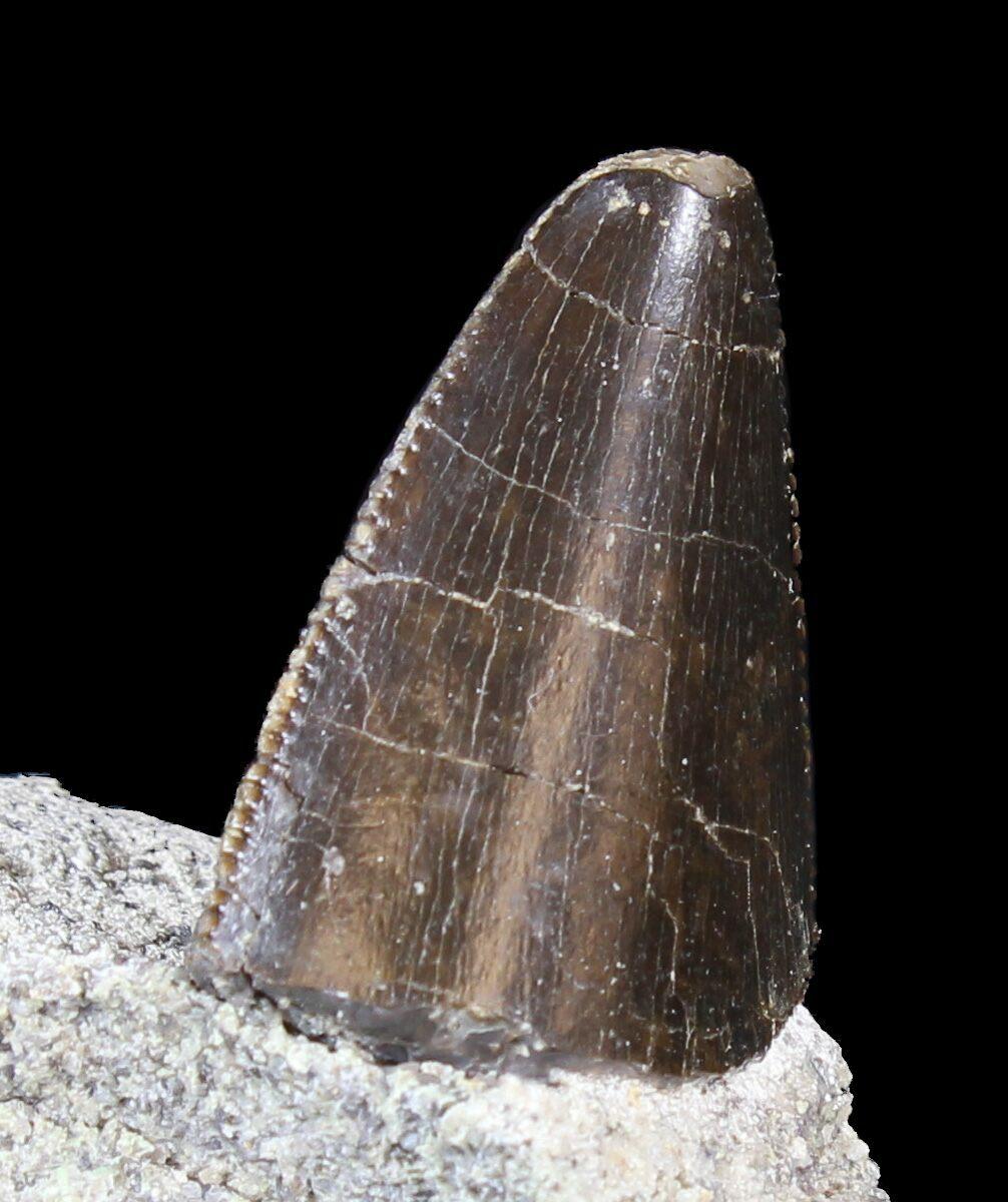 "Serrated 1.21"" Allosaurus Tooth In Matrix - Colorado For ..."