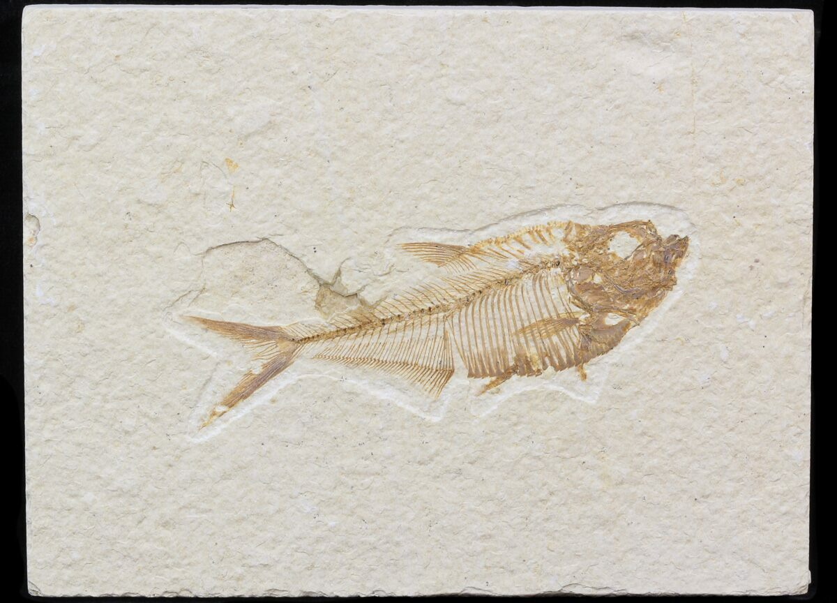 Bargain 3 diplomystus fossil fish wyoming for sale for Fish fossils for sale