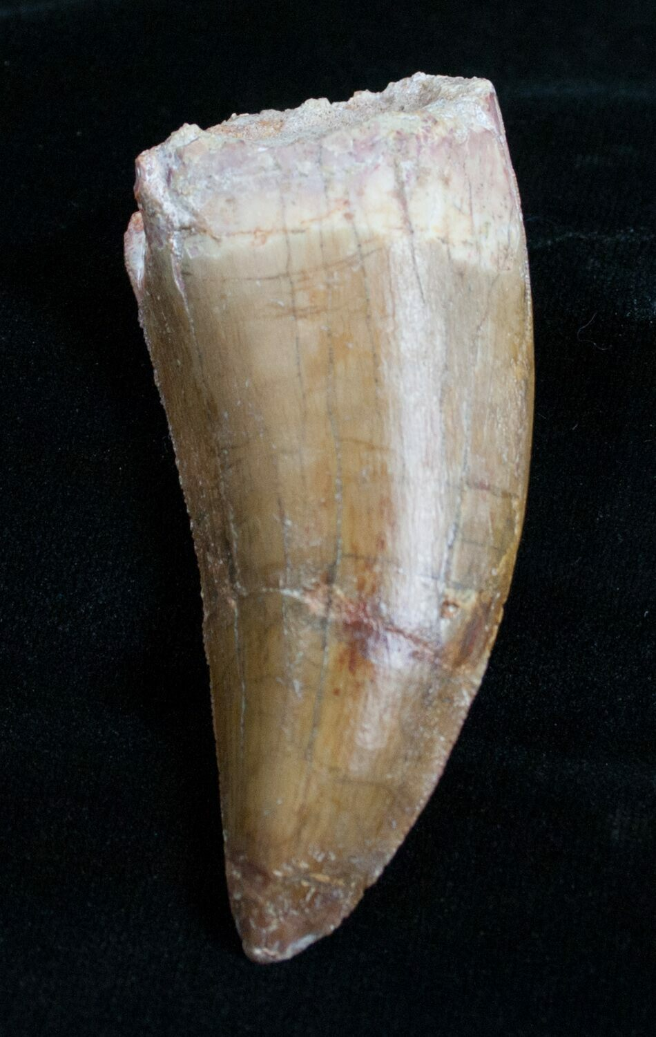 Thick Serrated Deltadromeus Tooth 2 3 4 Inches For Sale