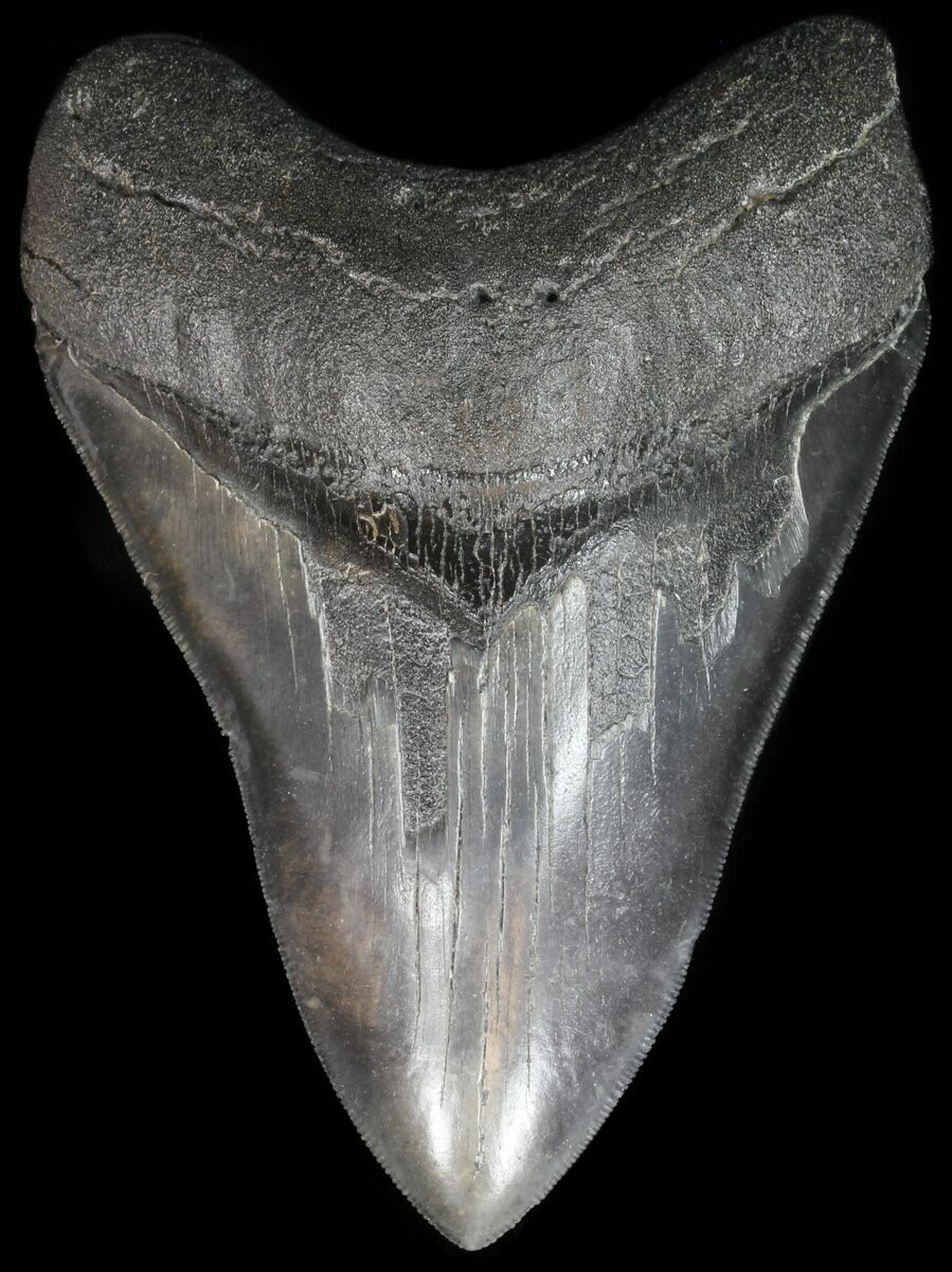 carbon dating megalodon tooth pictures
