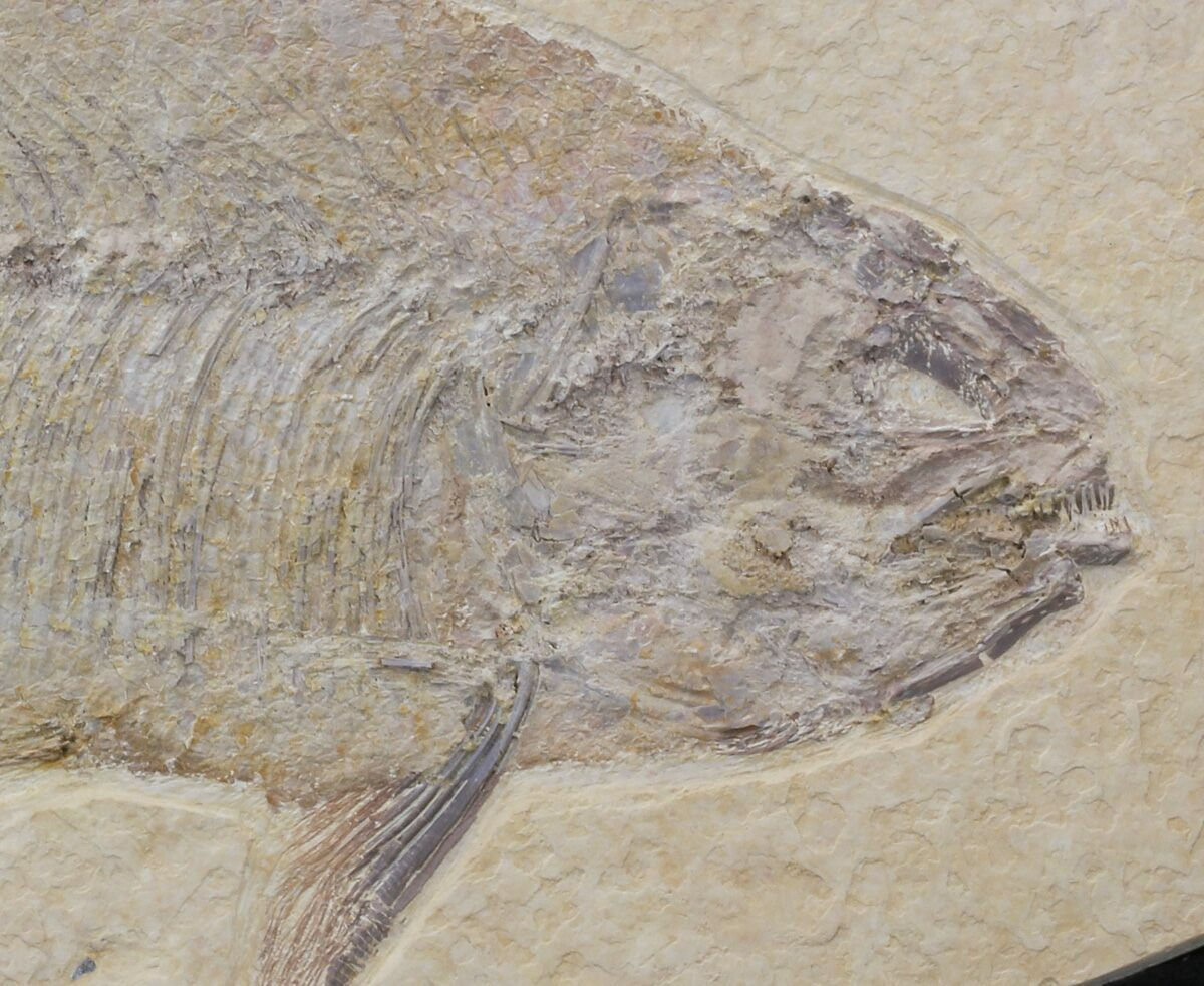 9 1 phareodus knightia fossil fish wyoming for sale for Fish fossils for sale