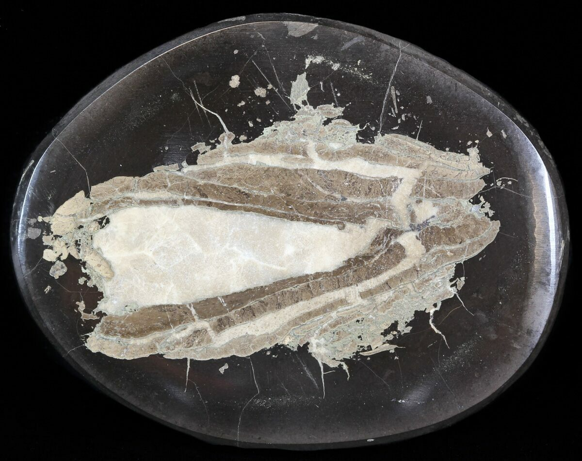 polished fish coprolite fossil poo scotland for sale 44675