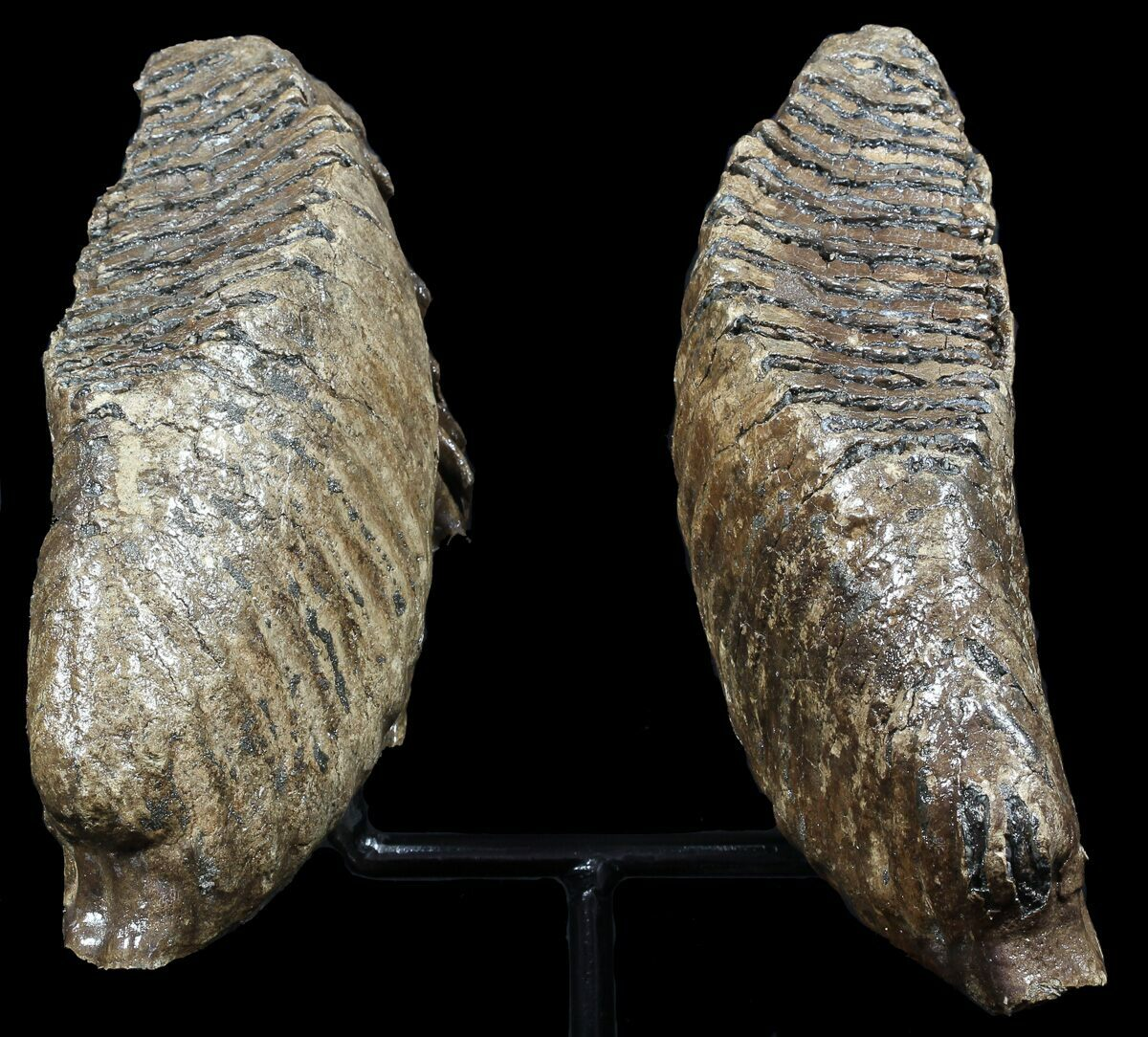 Pair Of Large Mammoth Molars On Metal Stand North Sea